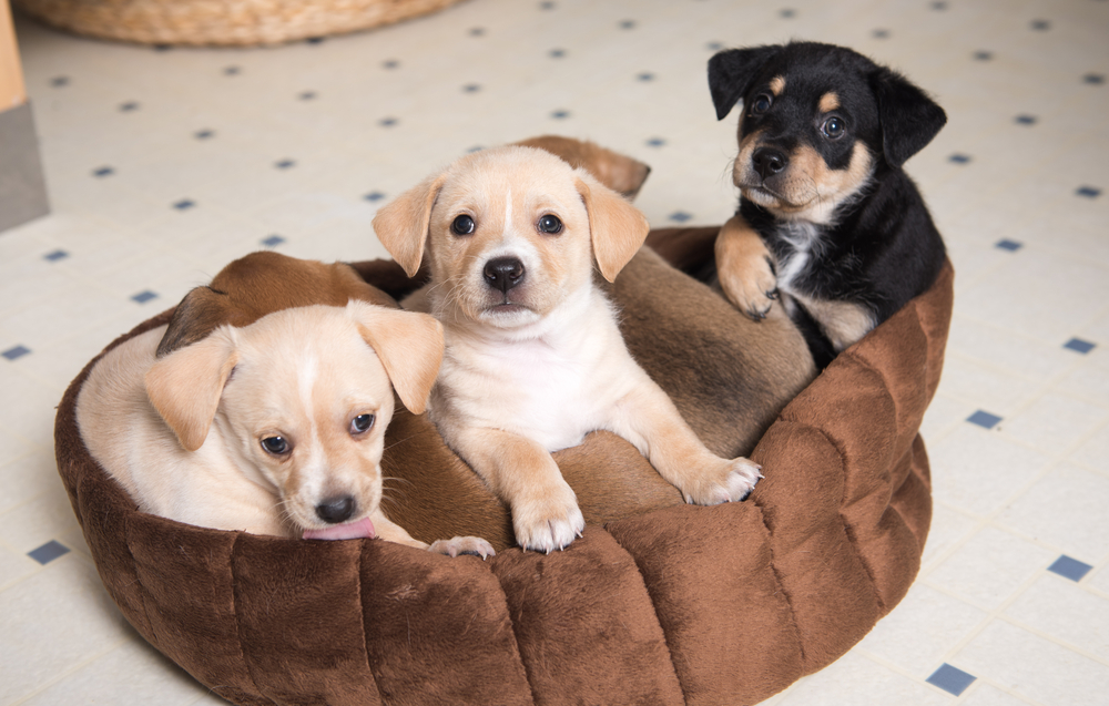 Puppies Falling Asleep in Brown Dog Bed