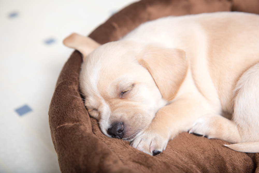 Why Should You Invest in the Best Dog Beds