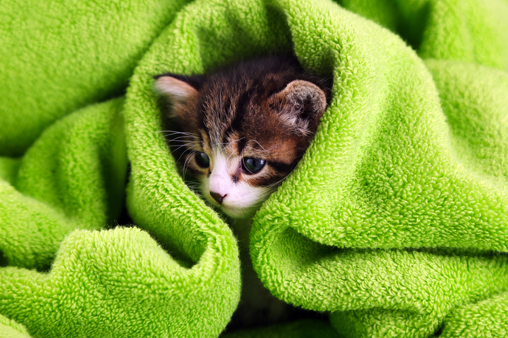 kitten with towel