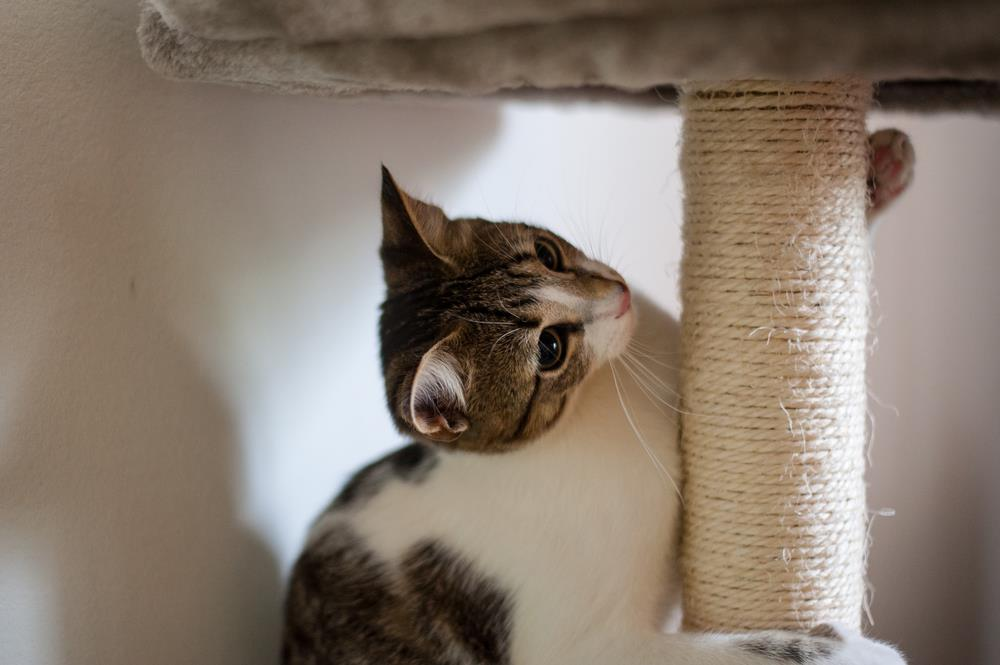 Redirect the cat's scratching behavior